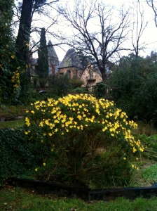 Yellow Winter Daisies at Montsalvat